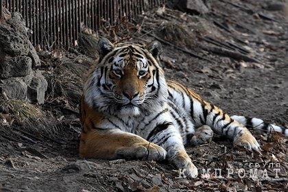Россиянин на Mercedes сбил амурскую тигрицу