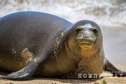 На берегу Каспийского моря нашли 150 мертвых краснокнижных нерп