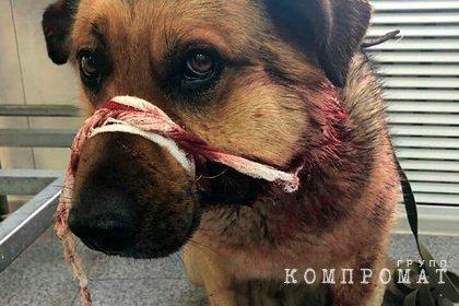Россиянин 15 раз выстрелил в сидящего на цепи домашнего пса